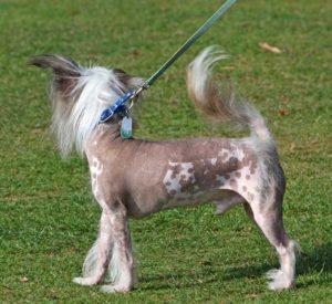 nakenhund-i-koppel